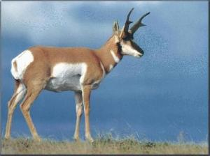 Antelope Photo